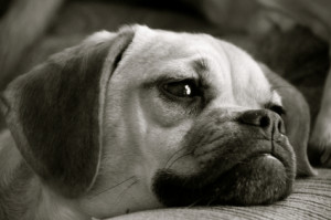 Puggle Dog in Black and White