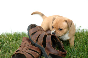 Puppy chewing sandals